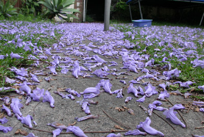 Jacaranda in the yard